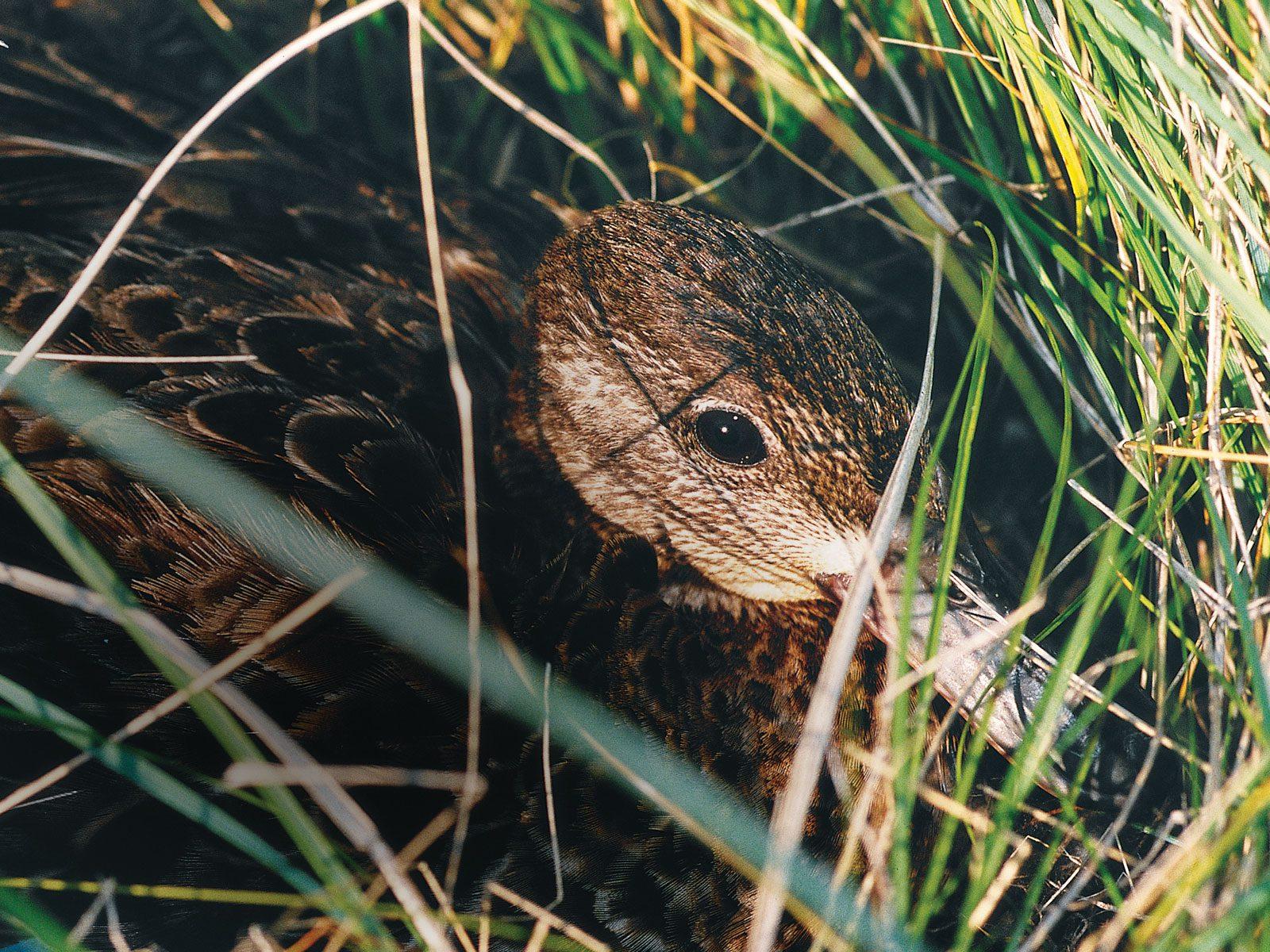 Un canard au printemps