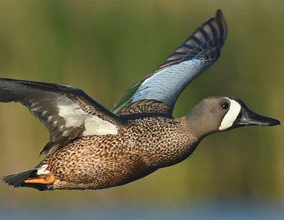 Les populations de canards, toujours aussi nombreuses