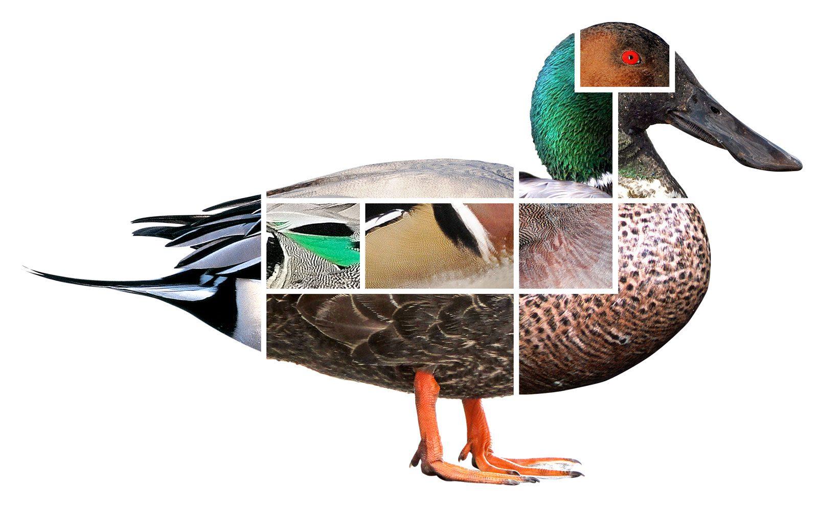L'art d'identifier les canards