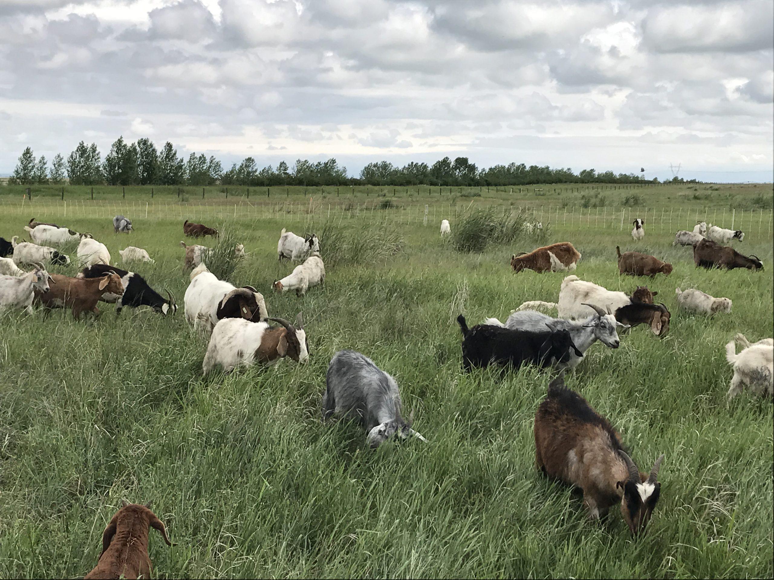 CIC fait appel à des chèvres et à des vaches pour lutter contre les végétaux envahissants dans les Prairies canadiennes