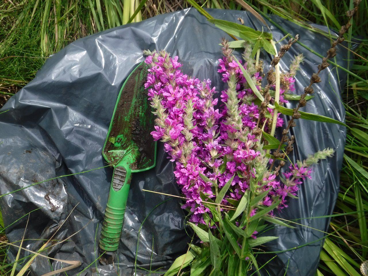 Reconquérir les milieux humides envahis par la salicaire pourpre