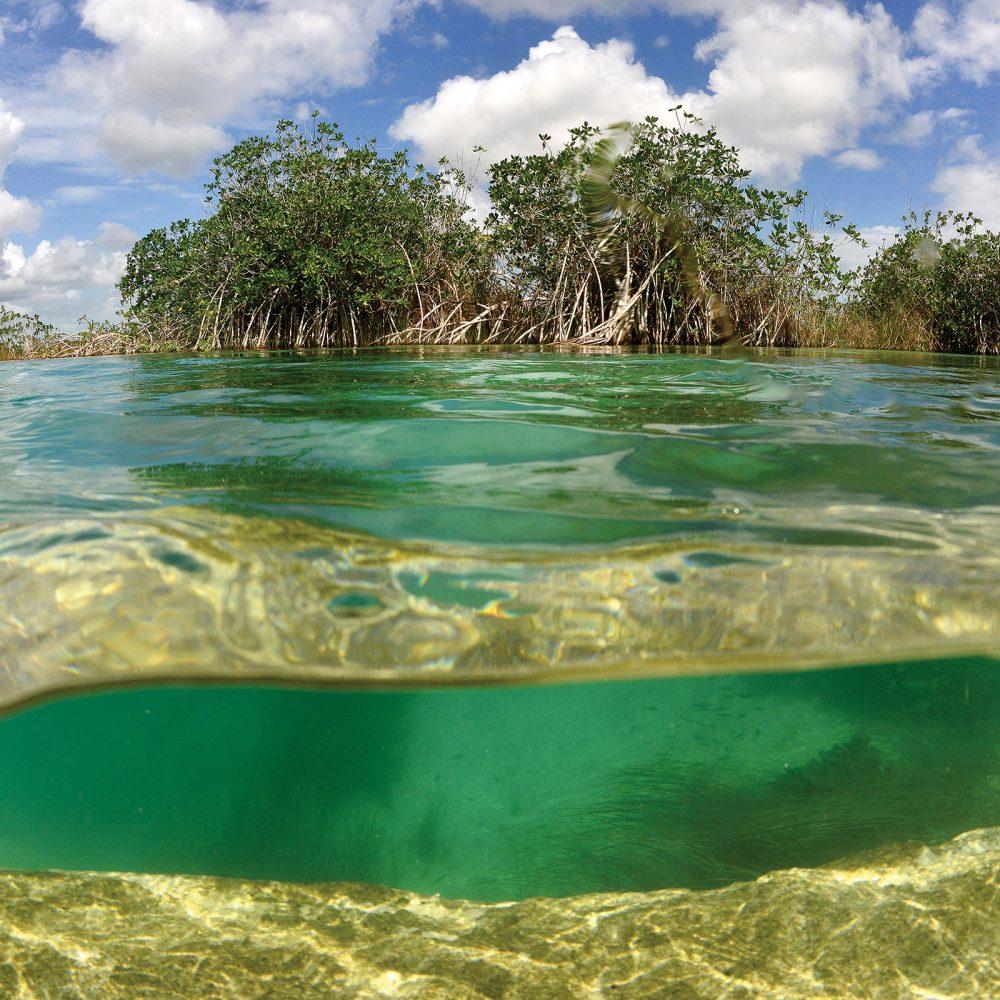 Les réseaux racinaires profonds et complexes des arbres et arbustes de la mangrove viennent arrimer les marécages riches de matières organiques qui permettent aux canards et aux autres espèces fauniques de se nourrir.