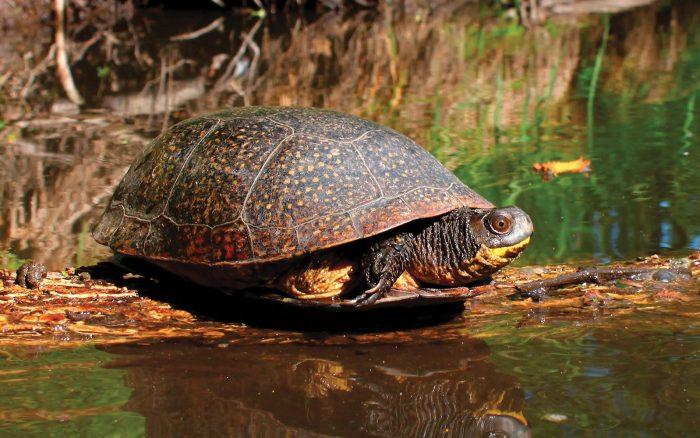 Les espèces en péril comme la tortue mouchetée font partie des représentants de la faune qui peuplent la région.