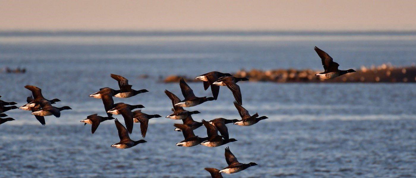 Une volée de bernaches cravants à la recherche d'un site d'alimentation à l'île aux Loups Marins.