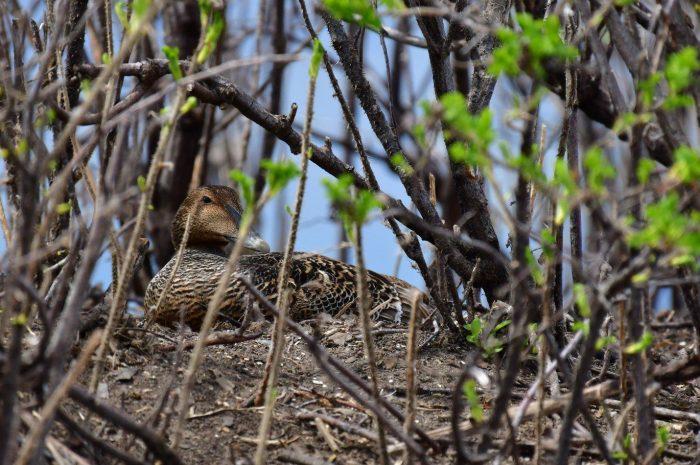 Une cane eider à duvet confortablement installée sur son nid à l'île aux Loups Marins