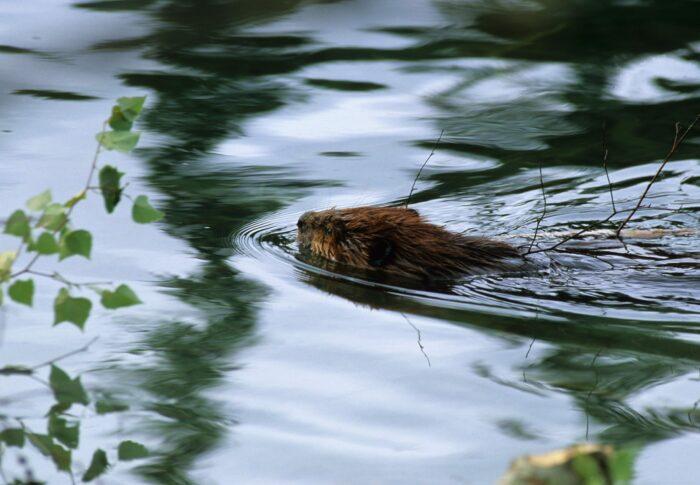 Aux marais aux Grenouillettes et des Laîches, des castors, il y en a des dizaines.