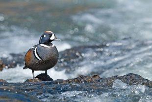 Les oiseaux du Canada nous préviennent de l'état de notre nature