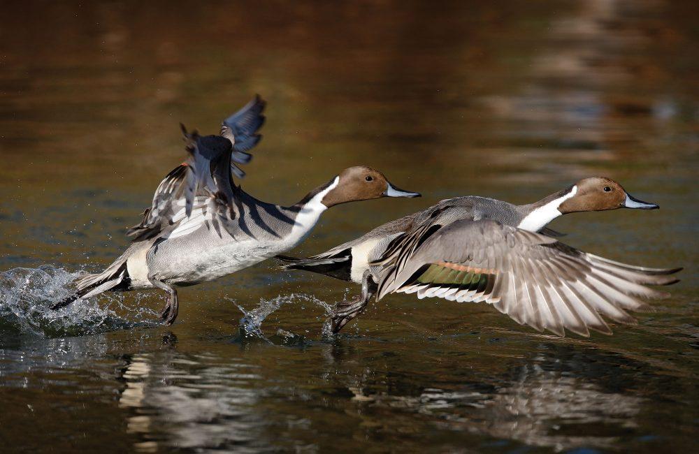 Image à double exposition d'un canard pilet mâle qui s'élance dans le ciel depuis un étang. Les canards doivent battre rapidement des ailes — à raison d'une dizaine de battements par seconde — pour porter leur corps relativement imposant.