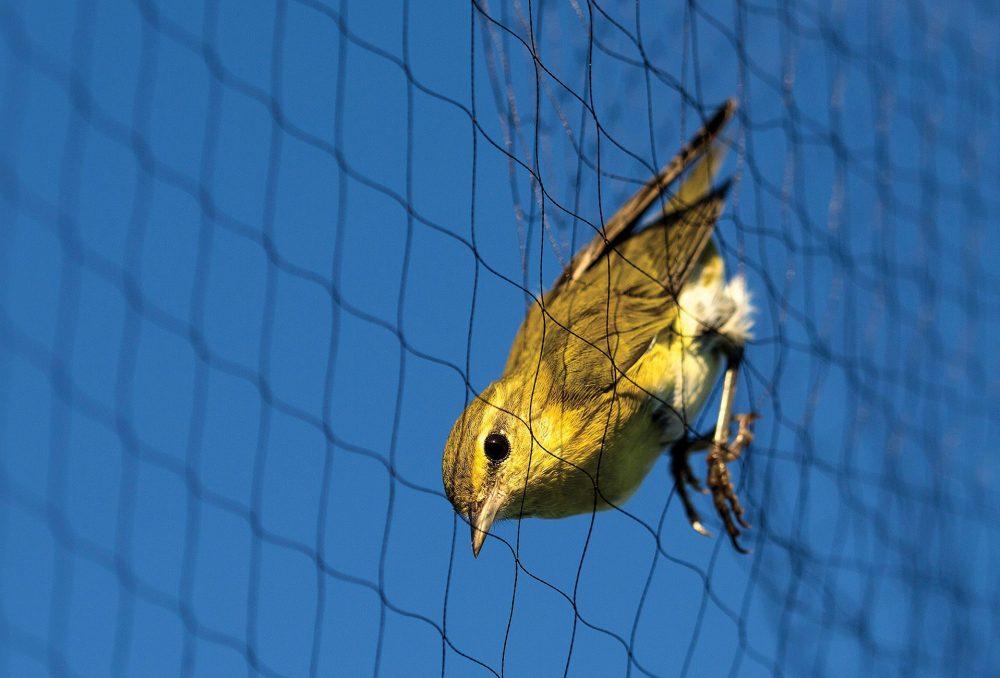 Éclairée par les premiers rayons de soleil du matin, cette paruline obscure a été captée pendant une séance de baguage des oiseaux chanteurs en septembre.