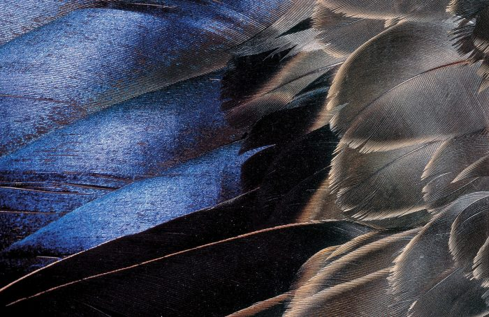Le miroir indigo foncé d'un canard noir égaye le plumage de cet oiseau tacheté par ailleurs discret. Le miroir fait partie des rémiges secondaires du canard, qui viennent le porter en plein vol.