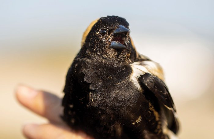 Un bruyant mâle goglu des prés punit ses ravisseurs en attendant d'être libéré. Inscrit dans la liste des espèces préoccupantes dans certaines régions du Canada, le goglu des prés niche dans les champs et les terres hautes des alentours du marais Oak Hammock et dans d'autres milieux humides aménagés par CIC.