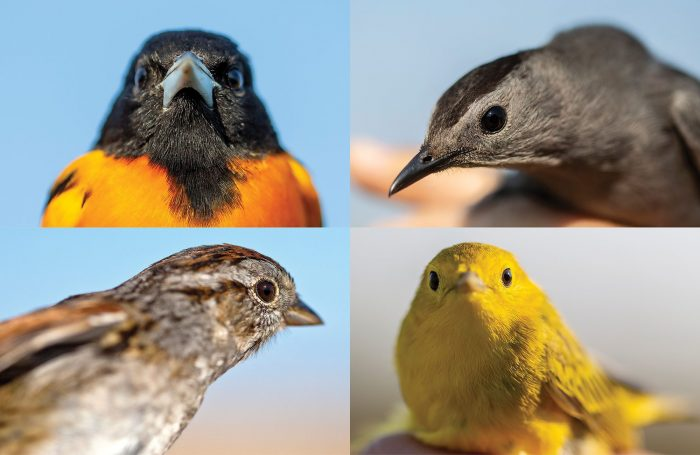 Arborant les motifs et les coloris flamboyants de leur plumage de reproduction du printemps, les oiseaux attrapés en mai et en juin se parent pour impressionner la galerie. Quatre des 60 espèces attrapées et baguées en 2019 comprennent (dans le sens des aiguilles d'une montre) l'oriole de Baltimore, le moqueur chat, la paruline jaune et le bruant des marais.