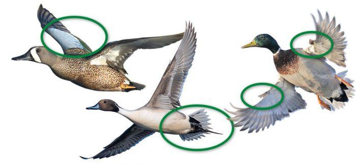 De gauche à droite, des plumes de couverture, des plumes de la queue, l'ailette