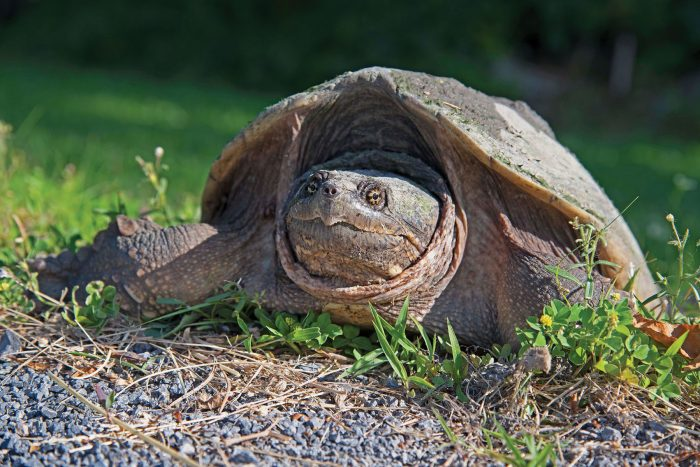 Tortue hargneuse.