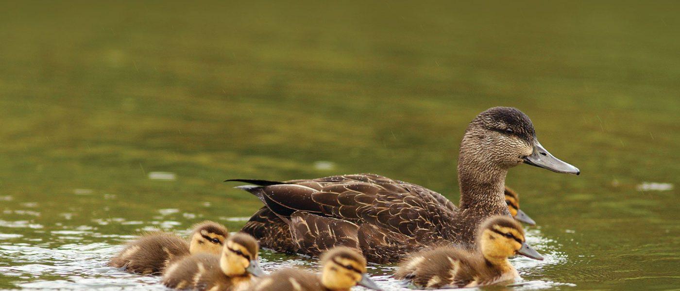 La sauvagine et les oiseaux aquatiques font partie intégrante des écosystèmes de milieux humides.