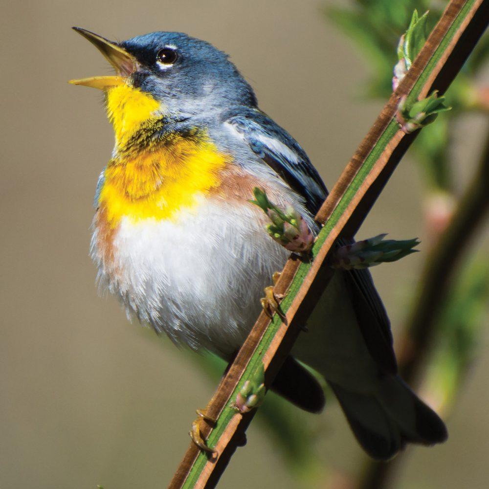 Dans un monde qui s'est tu, les oiseaux chanteurs comme la paruline à collier emplissent le silence.
