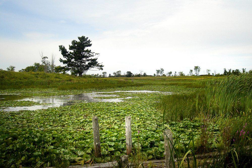 La baie des Atocas, milieu humide aménagé par CIC, est une oasis pour la faune dans un secteur menacé par l'urbanisation. Ce site sera consacré à la mémoire de Louise Claire dans le cadre du Projet de conservation Claire-Louise de la baie des Atocas.