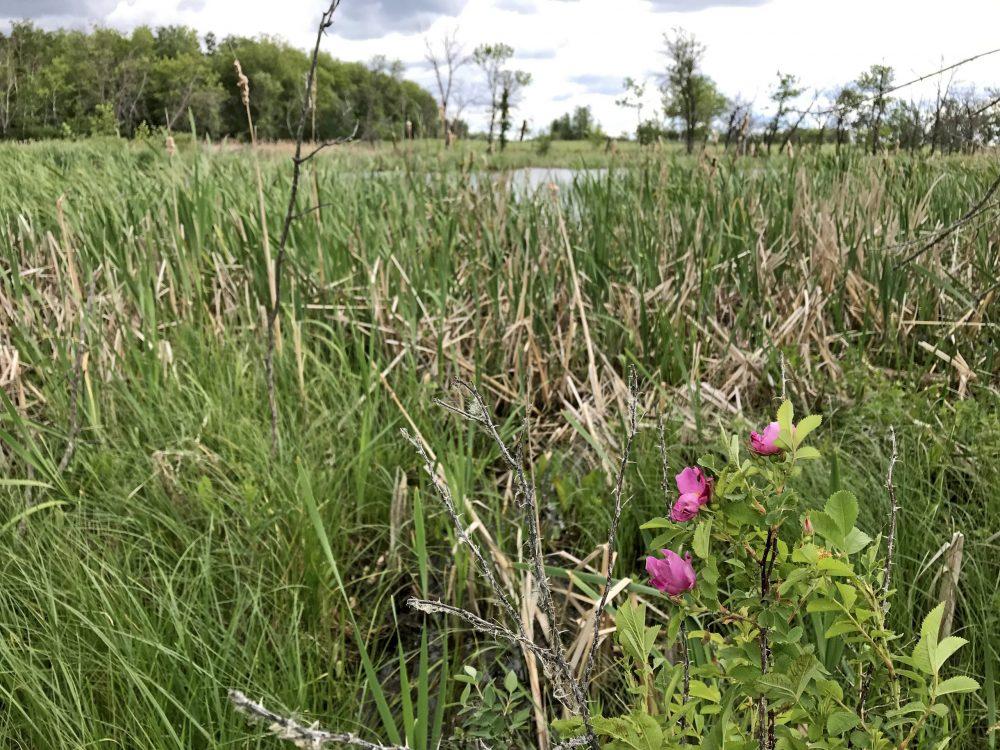 Sur l'exploitation agricole des Houck, les milieux humides n'ont jamais été altérés. Grâce à une nouvelle entente de conservation avec CIC, ils seront protégés pour les générations à venir.
