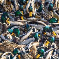 Prendre la mesure des canards