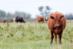 Une initiative destinée àpréserver 50 585hectaresdes Prairies canadiennes grâce à la collaboration des éleveurs