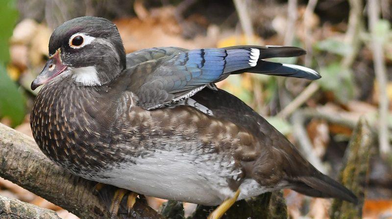 Coup d'œil dans le nichoir d'un canard