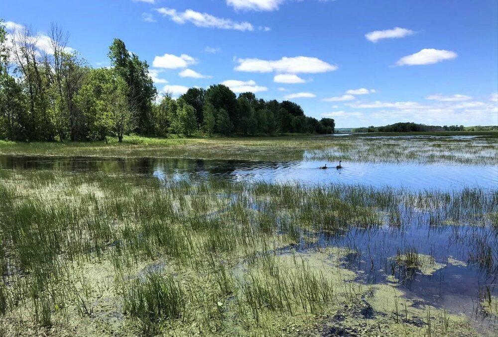 Marais aux Grenouillettes et des Laîches sont un havre unique pour des espèces fauniques en situation précaire en Outaouais.
