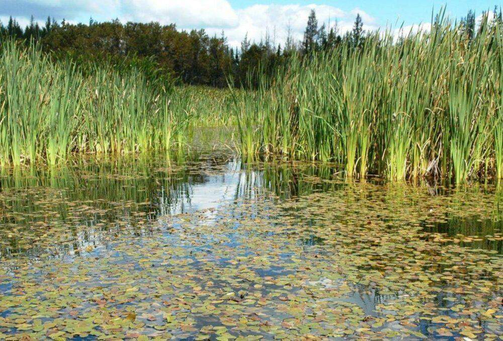 Les marais de la plaine du lac Saint-Jean recèlent une incroyable diversité.