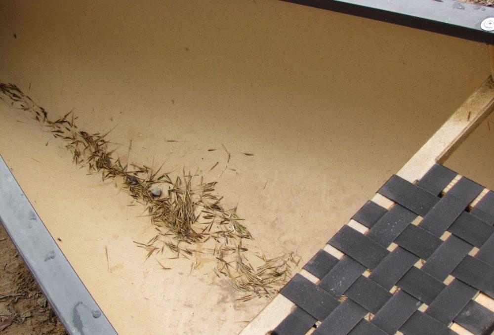 Riz sauvage tombé au fond d'un canot pendant la récolte.